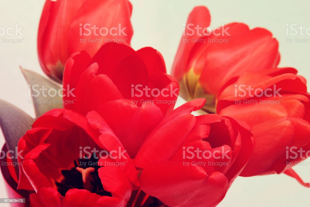 Group of red tulips photo libre de droits