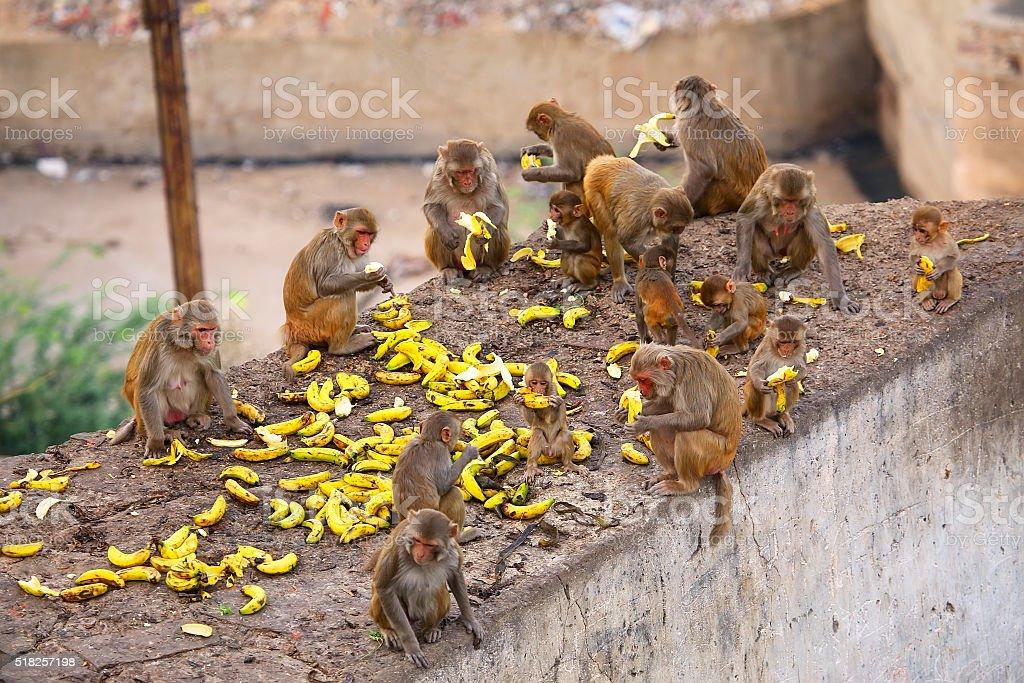 Group of Rhesus macaques eating bananas stock photo