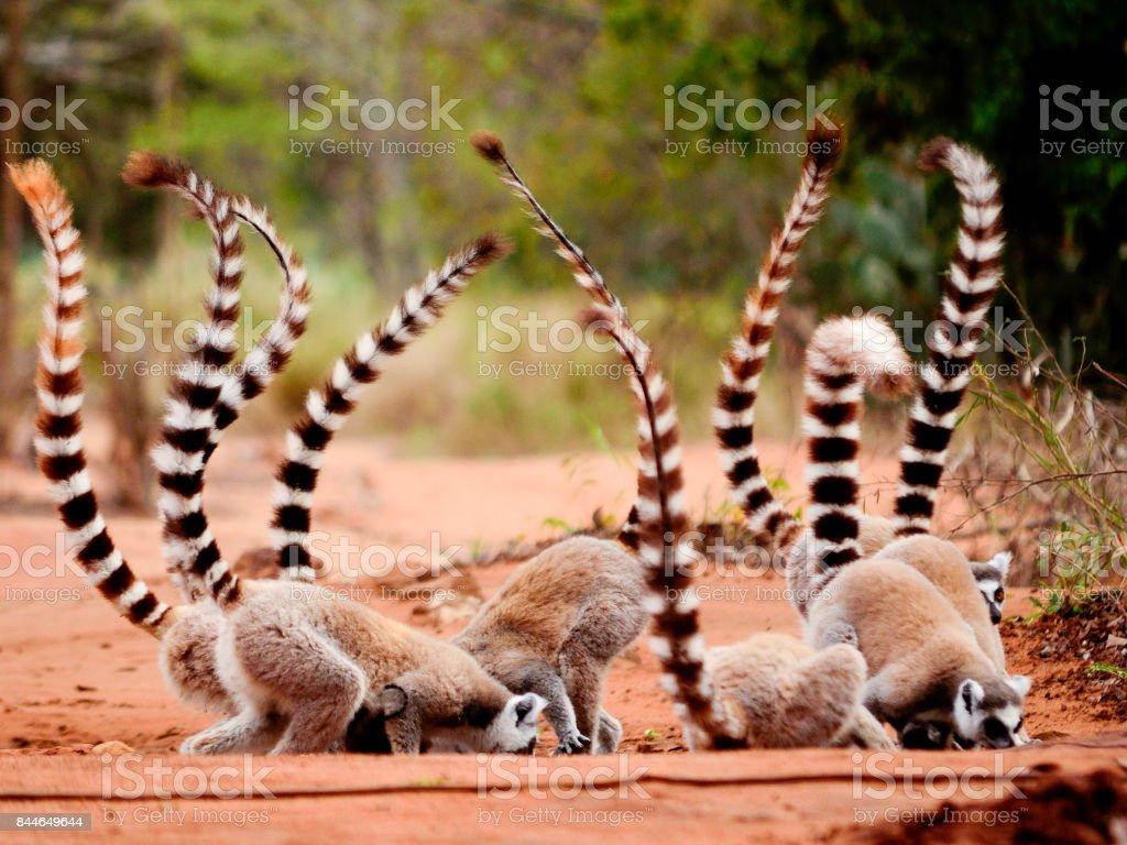 Group of ringtailed lemur, Lemur catta, in Berenty reserve Madagascar eating soil for detoxification stock photo
