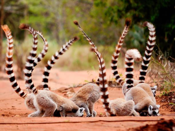 grupp av ringtailed lemur, lemur catta, i berenty reserv madagaskar äta jord för avgiftning - lemur bildbanksfoton och bilder