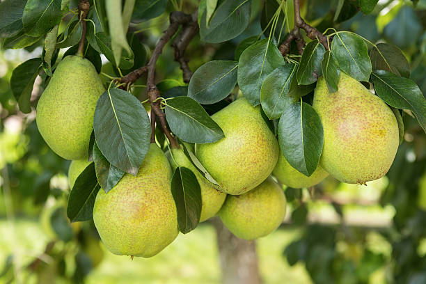 Group of ripe healthy yellow and green pears stock photo