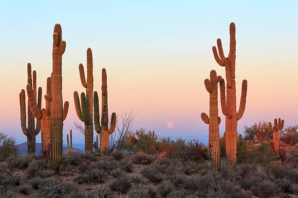 Group of saguaro cacti at sunrise stock photo