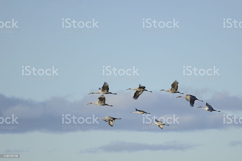 Group of Sandhill Cranes in Flight royalty-free stock photo