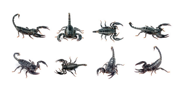 Group of scorpion isolated on a white background. Insect. Animal. Group of scorpion isolated on a white background. Insect. Animal. scorpio stock pictures, royalty-free photos & images