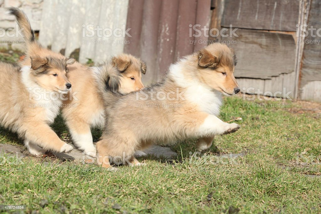 Group of Scotch Collie puppies running together stock photo