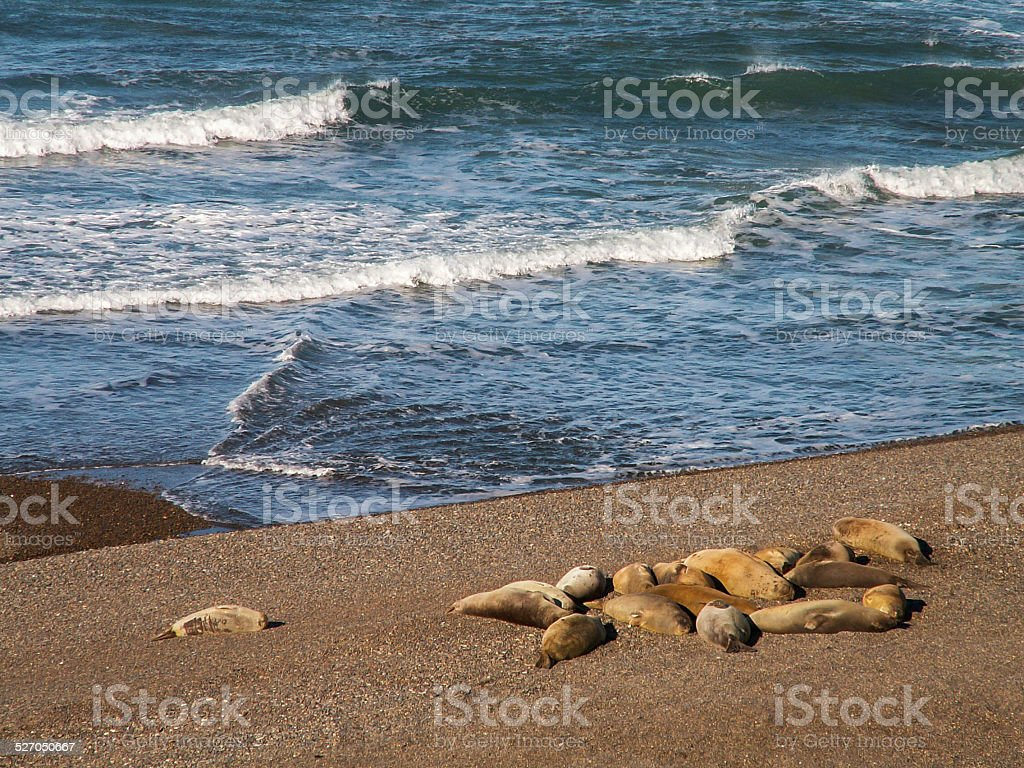 Group Of Sea Lions On Beach stock photo