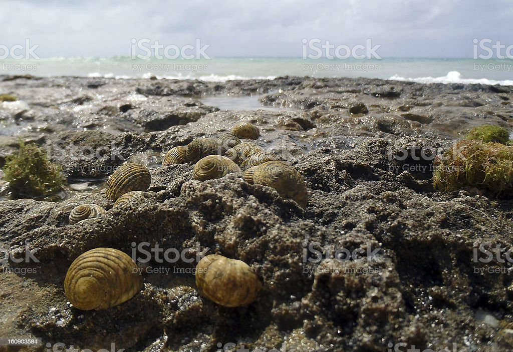 Group of sea snails royalty-free stock photo