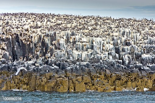 Group of seabirds on a clifftop on the Farne Islands.