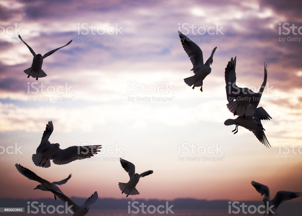 Group of seagulls are flying in sunset time royalty-free stock photo