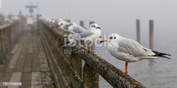 istock A group of seagulls (black-headed gulls) 1307705029