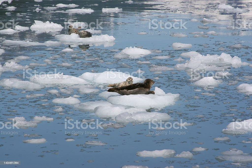 Group of seals on ice sheet stock photo