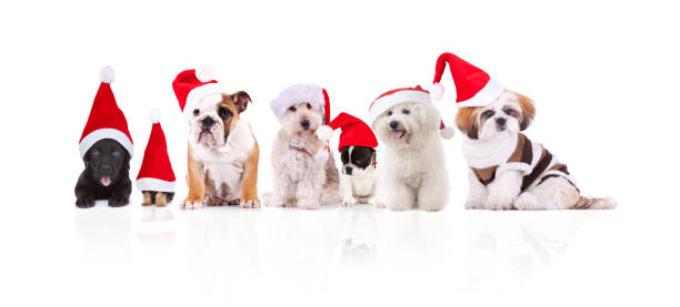 Group of seven adorable santa dogs of different breeds picture id1057931596?b=1&k=6&m=1057931596&s=612x612&w=0&h=qkxbcyeljuxq5cczvnepnq9lbnby6gbszn3ig3tayjw=