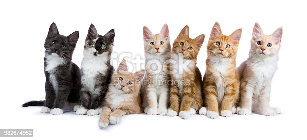 824824466 istock photo Group of seven maine coon cats / kittens looking at camera isolated on white background 932674962