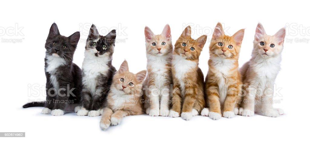 Groep van zeven maine coon katten / kittens kijken camera geïsoleerd op witte achtergrond foto