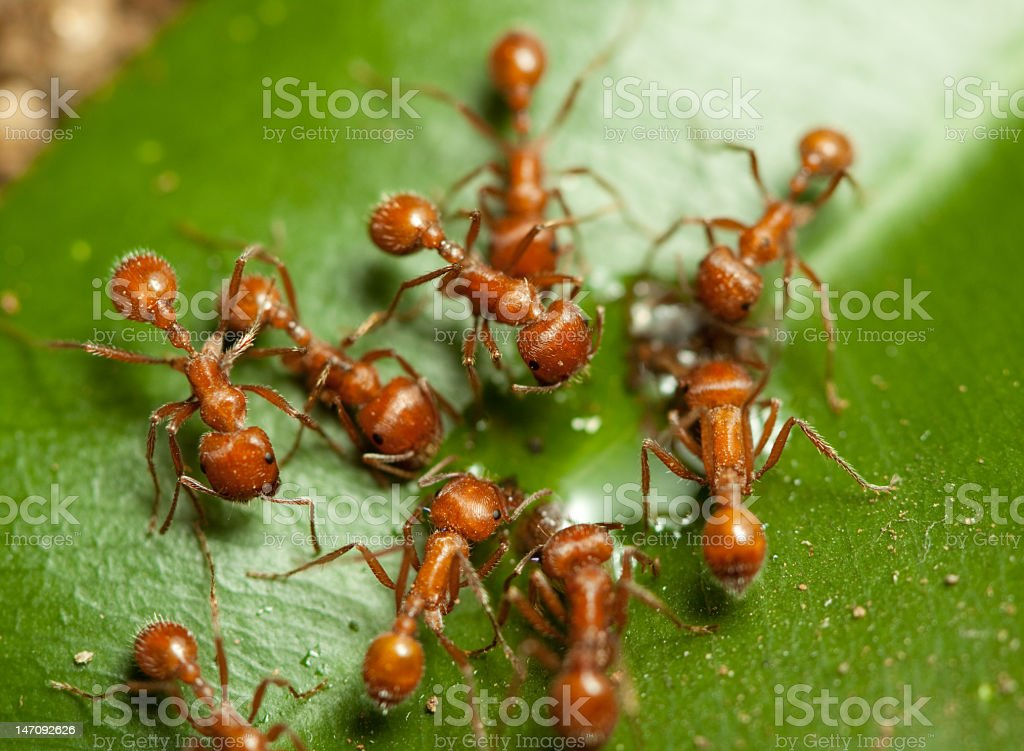 Group of several worker ants forging for food stock photo