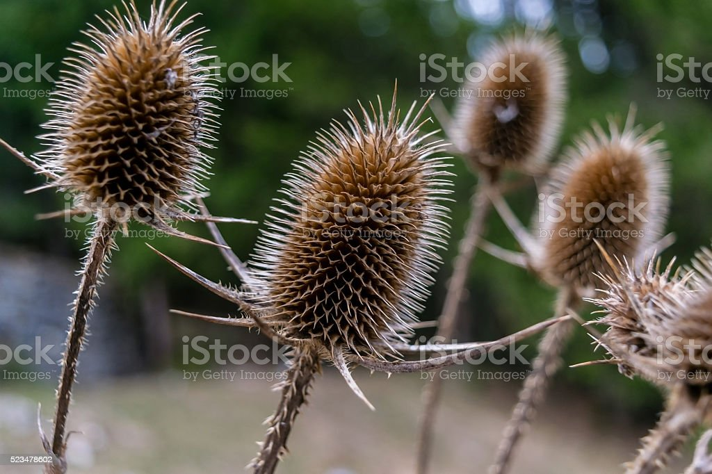 Group of sharp thistles in nature stock photo