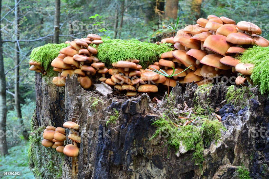Group of Sheathed Woodtuft mushrooms, side view stock photo