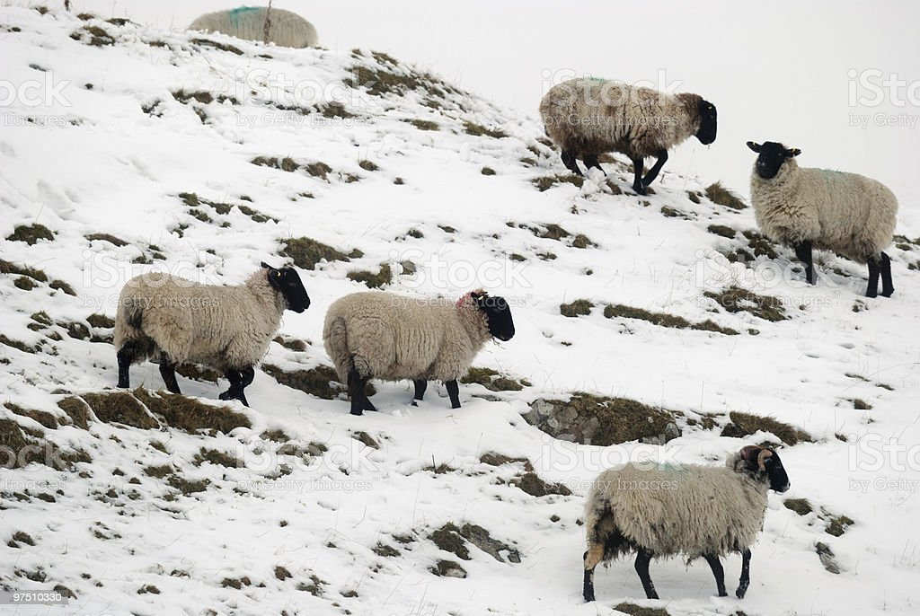 Group of Sheep on a mountain side covered in Snow. royalty-free stock photo