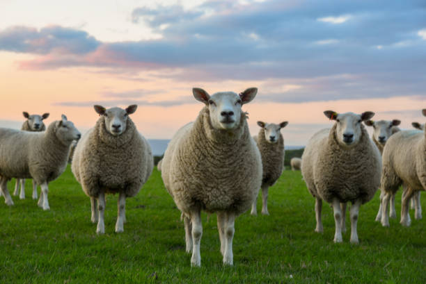 Group of sheep Looking at camera flock of sheep stock pictures, royalty-free photos & images