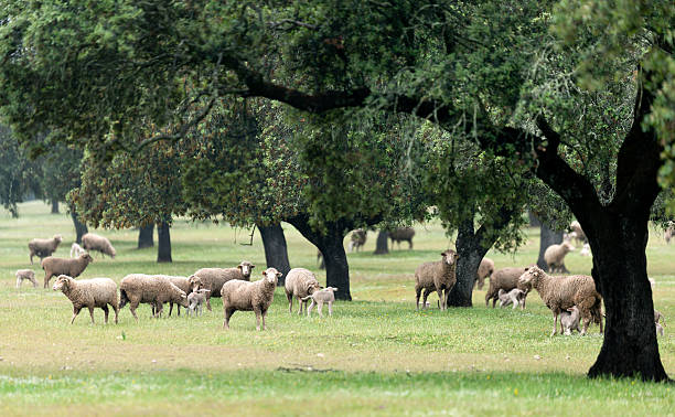 Group of sheep under oak trees in Extremadura, Spain Group of sheep under oak trees in Extremadura, Spain. flock of sheep stock pictures, royalty-free photos & images