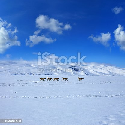 group of sheepdogs (Turkish Sivas Kangal Sheepdog) running on snow covered mountain side landscape over blue sky
