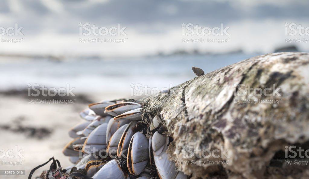 Group of shells in low tide clinking on old rugged , threadbare, plastic buoy, Brittany, France stock photo