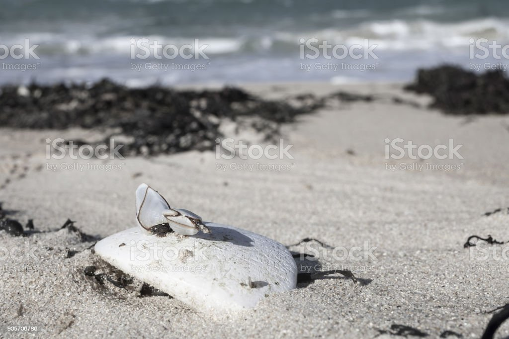 Group of shells in low tide clinking on old rugged , threadbare, plastic buoy, Brittany, France. stock photo