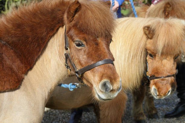 group of shetland ponies on the bridle - whiteway pony stock photos and pictures