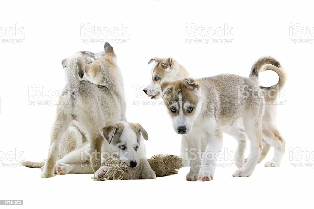 group of Siberian husky puppies stock photo