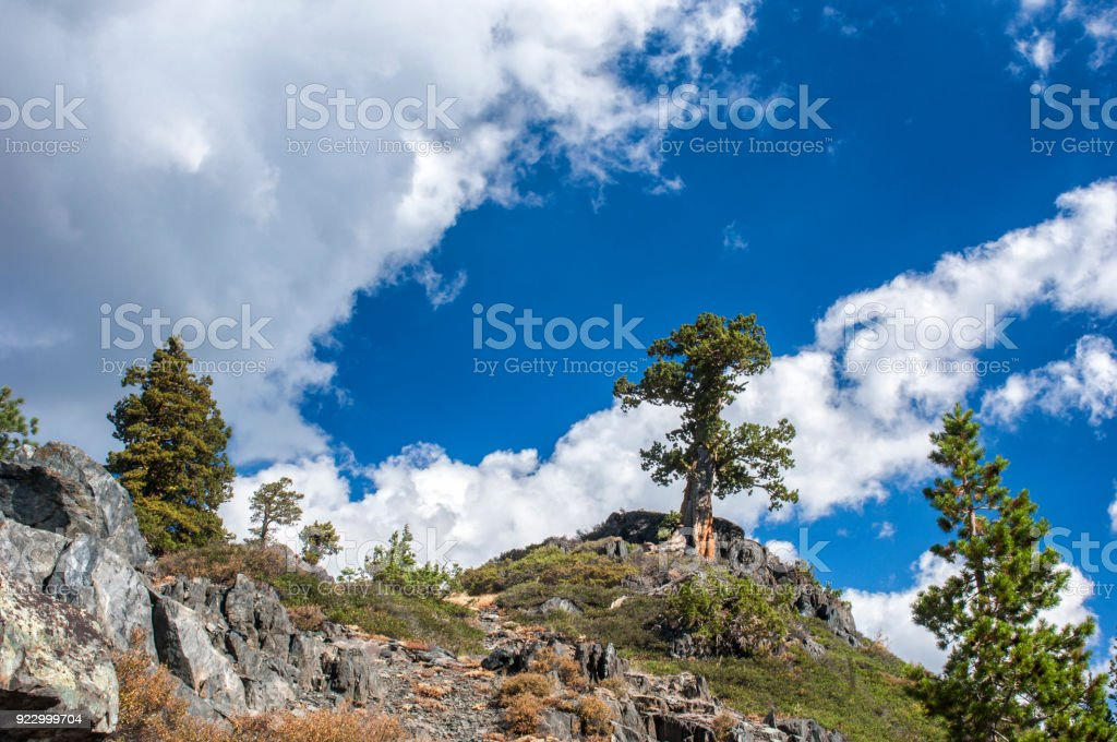 Group of Sierra Juniper Trees on Mountain Top stock photo