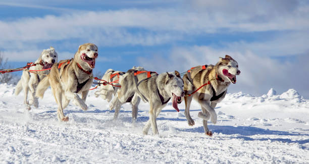 Group of sled dogs (Siberian Huskies) running in snow Group of sled dogs (Siberian Huskies) running in snow. working animal stock pictures, royalty-free photos & images