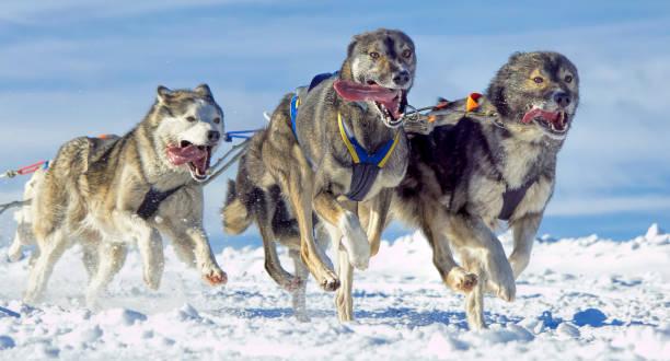 Gruppe der Schlittenhunde (Siberian Huskies) laufen im Schnee – Foto