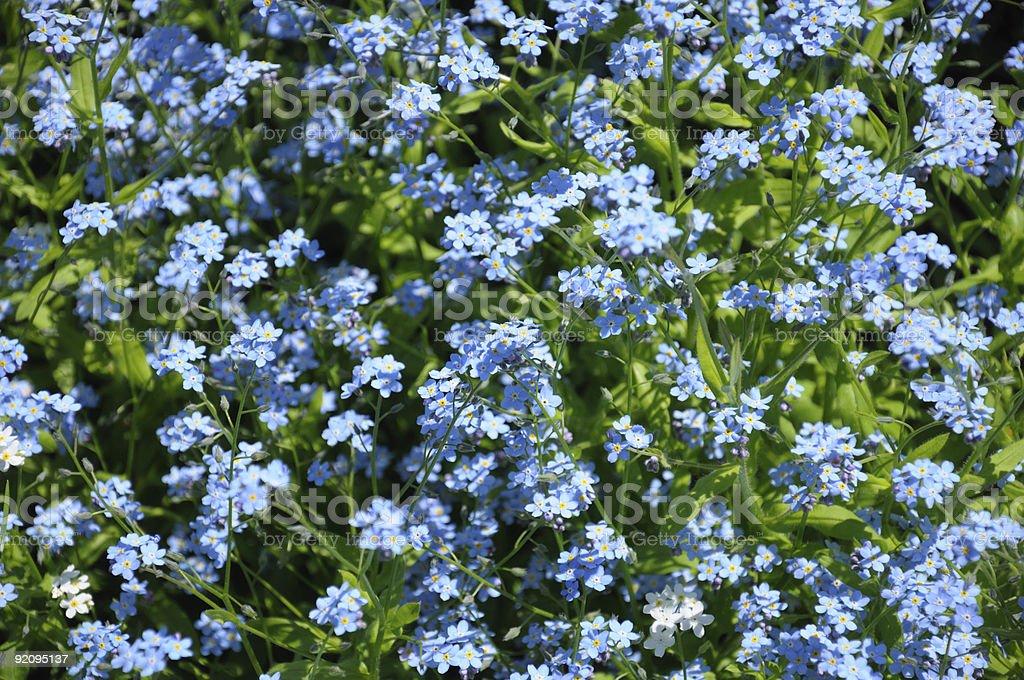 Fiori Piccoli.Gruppo Di Piccoli Fiori Di Primavera Blu Fotografie Stock E