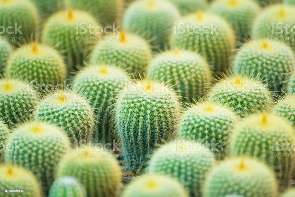 Group Of Small Cactus Plant In The Pot At Cactus Garden.Thailand. Royalty