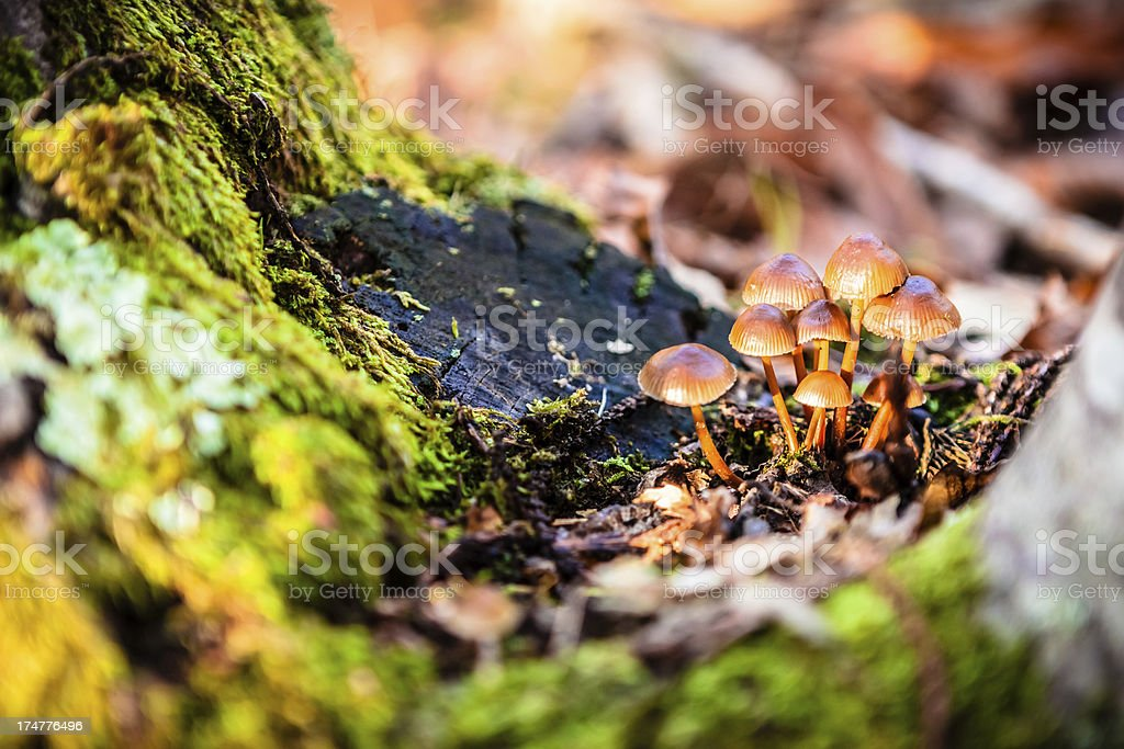 Group of Small Mushrooms in Autumn Forest royalty-free stock photo