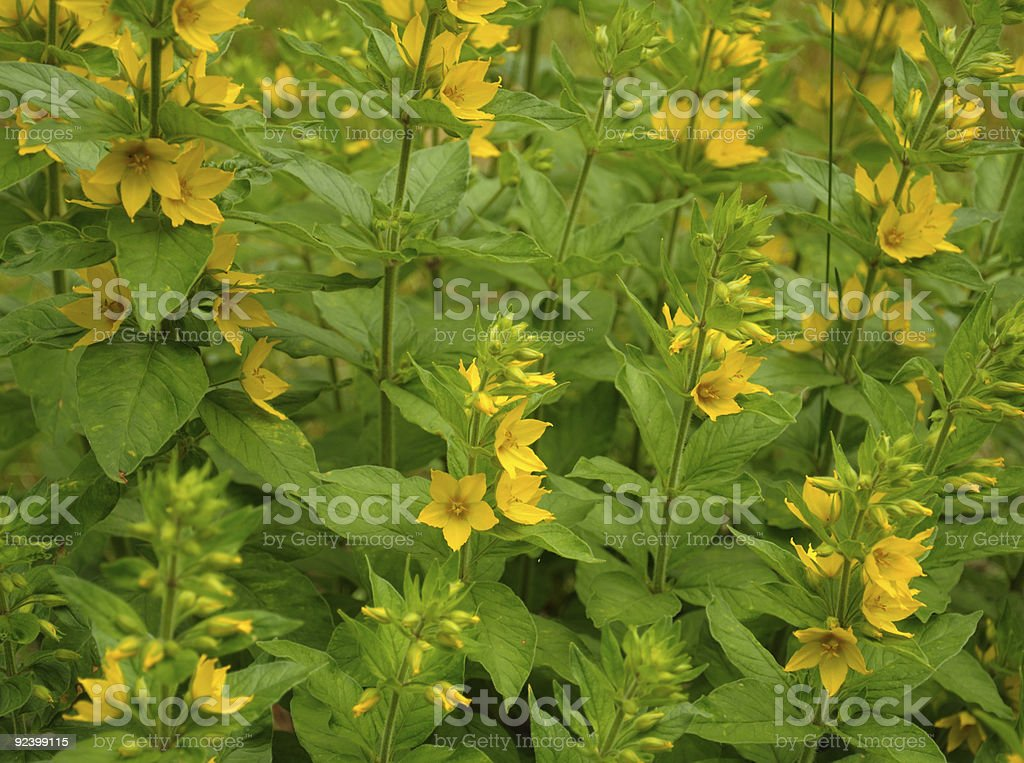 Group of small yellow flowers royalty-free stock photo