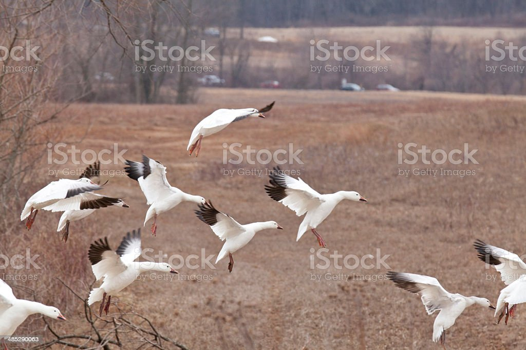 Group of snow goose in a flying landing position stock photo