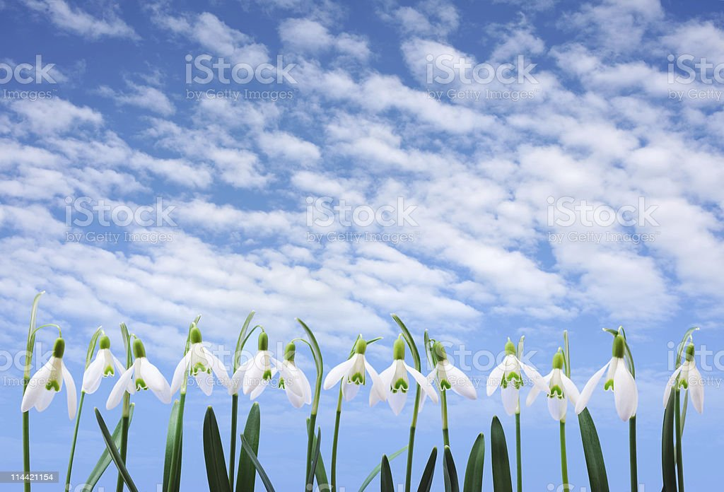 Group of snowdrop flowers  growing in row over sky royalty-free stock photo