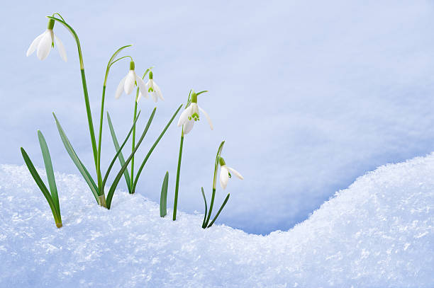 group of snowdrop flowers  growing in snow - snowdrops stock photos and pictures