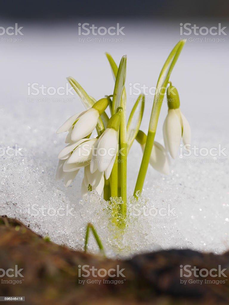 Gruppe von Galanthus Blumen wachsenden im Schnee Lizenzfreies stock-foto