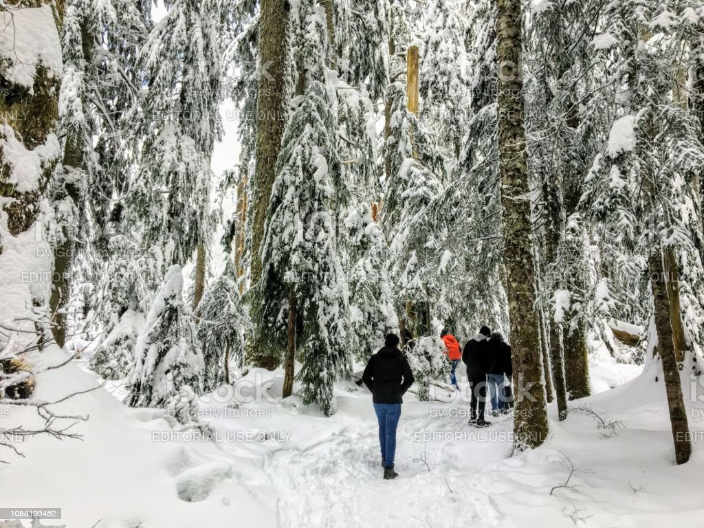 A group of snowshoers hiking through a beautiful, majestic old growth cedar forest stock photo