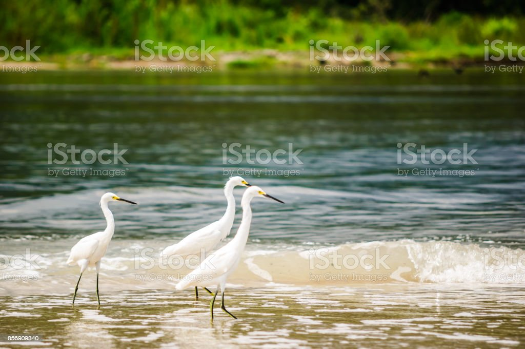 Group of snowy Egret in national park Tayrona - Colombia stock photo
