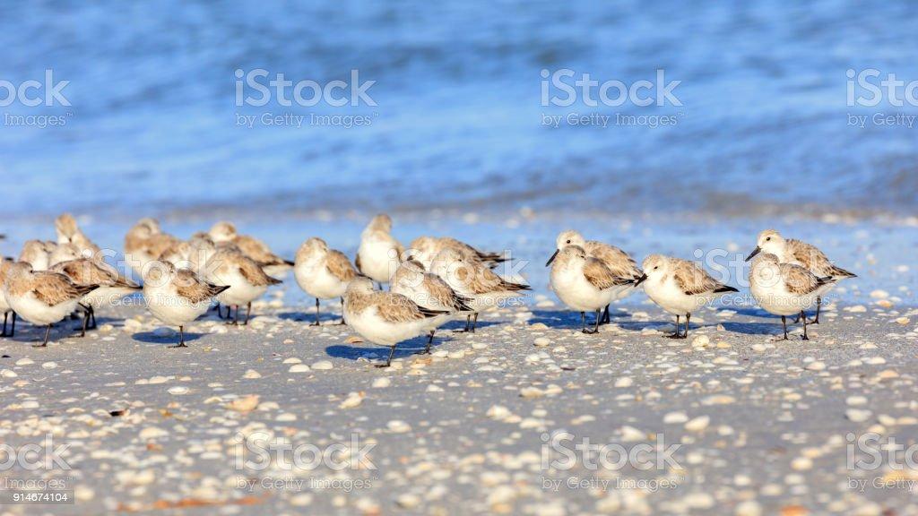 Group of snowy plovers, charadrius nivosus, dozing on the beach stock photo