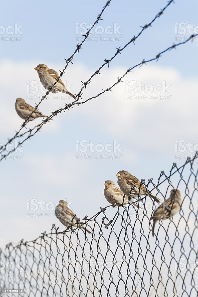 group of sparrows on fence stock photo