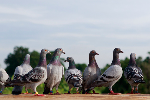 group of speed racing pigeon standing on roof
