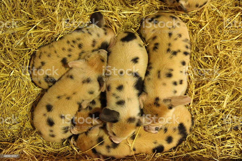 Group of spotted piglets stock photo