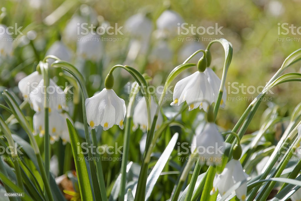 Group of Spring snowflake flowers stock photo