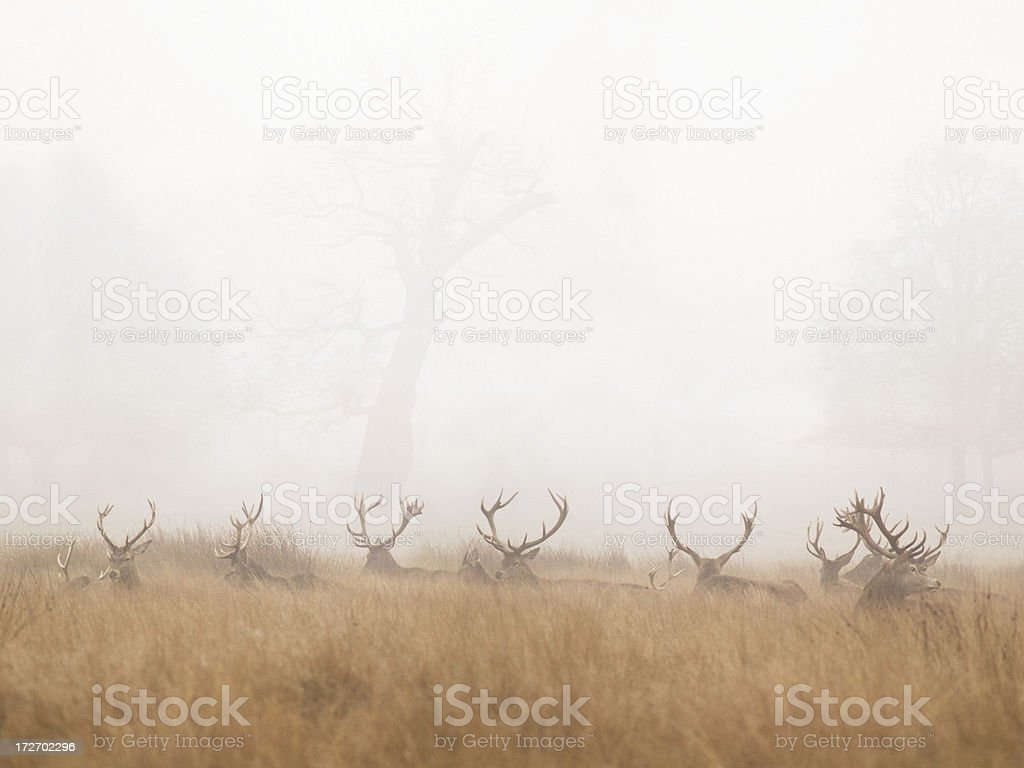 Group of Stag Deer Resting in Foggy Park stock photo