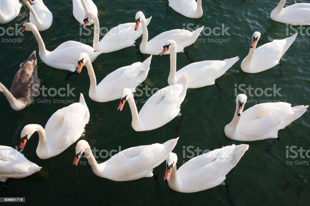 Group of swans floating near to shore stock photo