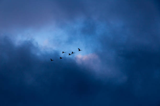 Group of swans flying over stock photo